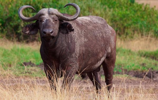 Búfalo Cafre