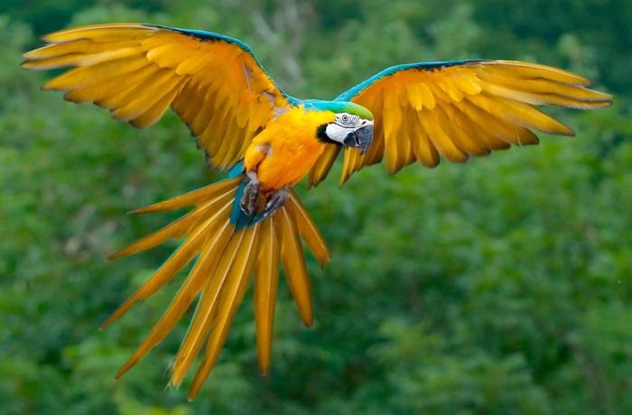 Guacamaya Azul y Oro
